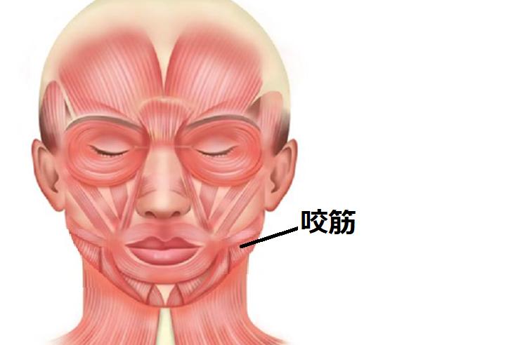 咬筋の部位